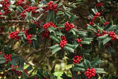 Holly bush with bright red berries Royalty Free Stock Images