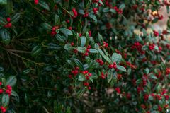 Holly bush full of berries Stock Photography