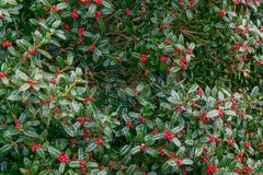 Holly bush full of berries Stock Images