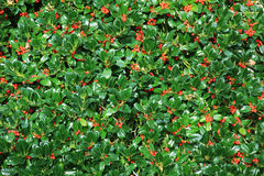 Holly bush hedge with berries. Ilex aquifolium, natural christmas background royalty free stock photo