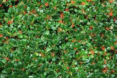 Holly bush hedge with berries. Ilex aquifolium, natural christmas background stock photos