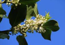 Holly Bush na flor foto de stock
