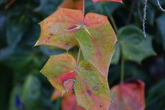 Holly Bush plant leaves changing colors royalty free stock image