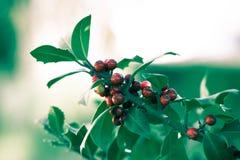 Holly bush Royalty Free Stock Photo