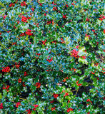 Holly Bush with Red Berries Stock Photography