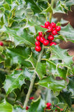 Holly bush with red berries. Holly bush showing red berries for decoration Stock Photos