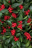 Holly Bush with Red Berries. Winter and Christmas holly with red berries forming a background. Ilex aquifolium. Traditional Christmas greeting card for the royalty free stock photo