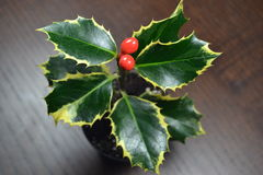 Holly bush with red berries Royalty Free Stock Photos