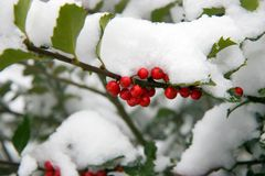 Holly Bush with snow. Holly bush (Ilex aquifolium) with red berries and white snow Stock Image