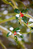 Holly bush with snow in winter Royalty Free Stock Photos