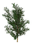 Holly Bush on White Stock Images