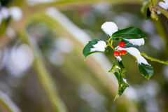 Holly bush in winter with short depth of field. Photo of a holly bush in the snow in winter, with short depth of field and space for your text Stock Photo