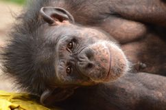Holly chimp Royalty Free Stock Photography