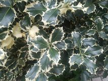 Holly closeup outside royalty free stock image