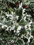 Holly coated with ice Stock Photography