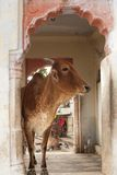 Holly Cow. In India, temple stock photos
