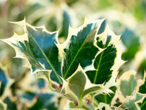 Holly. Detail of holly leaves with bright green and yellow colors Stock Photography