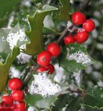 Holly with dusting of snow stock photos