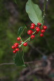 Holly or european ilex Stock Photography