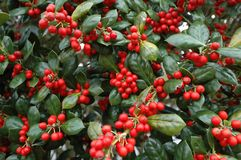 Holly (Gen; Ilex) Royalty Free Stock Photos