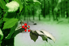 Holly in Green Wood. Holly with red berries in woodland.  Blurred background with green filter to add feeling of silence and loneliness.  Motion blurr in the Royalty Free Stock Photos