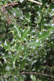 Holly is growing in a park in Brittany (France) Stock Image