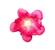 Holly Hawks colorful flowers isolated on white Royalty Free Stock Photo