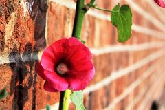 Holly Hock urbaine Image stock