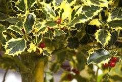 Holly (Ilex aquifolium) Royalty Free Stock Photos
