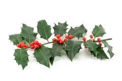 Holly (Ilex aquifolium) Royalty Free Stock Images