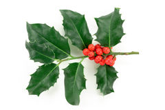 Holly (Ilex aquifolium) Stock Image