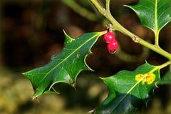 Holly - Ilex Aquifolium Στοκ φωτογραφία με δικαίωμα ελεύθερης χρήσης