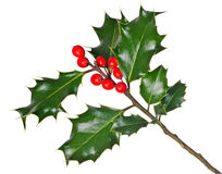 Holly (Ilex) - isolated on white. A branch of real holly, with red berries, isolated on a white background Stock Images