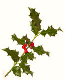 Holly (Ilex) - isolated on white. A branch of real holly, with red berries, isolated on a white background Royalty Free Stock Images