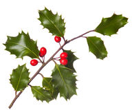 Holly (Ilex) - isolated on white. A branch of real holly, with red berries, isolated on a white background Stock Photography