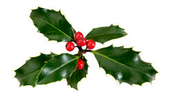 Holly, ilex, with red berries. Isolated on white. Stock Images