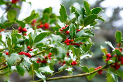 Holly and its red fruits. European holly and its red fruits used for new year's day or christmas Stock Photos