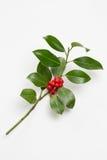 Holly jagody liść i Zdjęcie Stock
