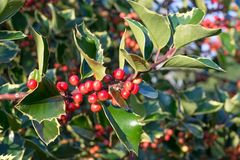 Holly leaf and berry Stock Photos