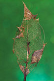 Holly Leaf Partially Decomposed On Green Stock Images