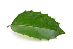 Holly leaf. On white background stock photos