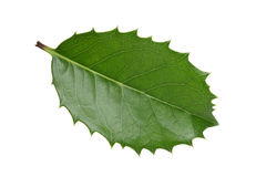 Holly leaf Royalty Free Stock Photo