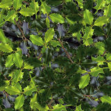 Holly leaves Stock Photography