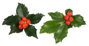 Holly leaves. Fresh holly leaves and red berry over white royalty free stock image