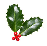 Holly leaves and berries Stock Photo