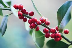 Holly Leaves and Berries. Close-up of red berries on a holly bush royalty free stock photography