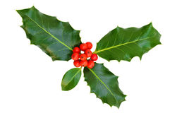 Holly leaves with berries, isolated. Stock Photos