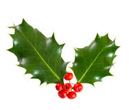 Holly leaves and berries Stock Image