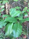 Holly Leaves em North Carolina litoral fotografia de stock royalty free