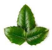Holly leaves Royalty Free Stock Images